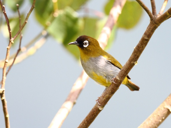 Black-capped white eye